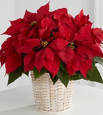 Panier de Poinsettias Rouge (petit)