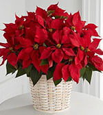 Panier de Poinsettias Rouge (Grand)