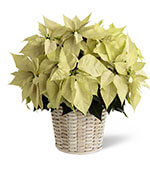 Panier à Poinsettias Blanc (Grand)